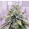 Zkittlez Autoflower Cannabis Seeds
