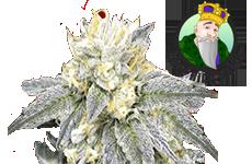 Zkittlez Feminized Seeds Crop King Seeds