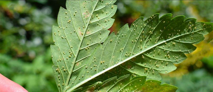 cannabis underside leaf pests