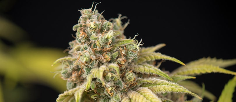 Chemdawg Seeds Strain Description